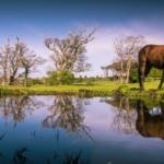 common_horse
