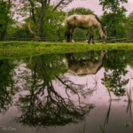 common_horsereflect